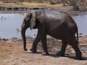 Elephant at Madikwe Game Reserve [South Africa]